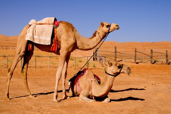 20 Beautiful Camel Pictures 18