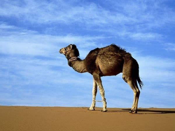 20 Beautiful Camel Pictures 2