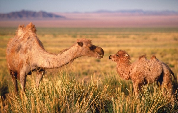 20 Beautiful Camel Pictures 20