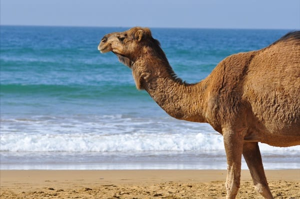 20 Beautiful Camel Pictures 22