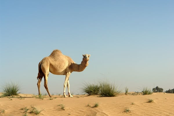 20 Beautiful Camel Pictures 25