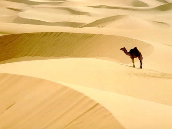 20 Beautiful Camel Pictures 26
