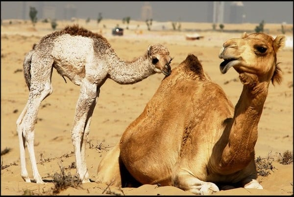 20 Beautiful Camel Pictures 31