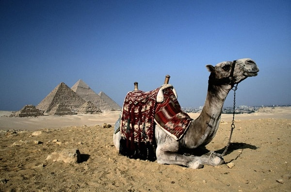 20 Beautiful Camel Pictures 34