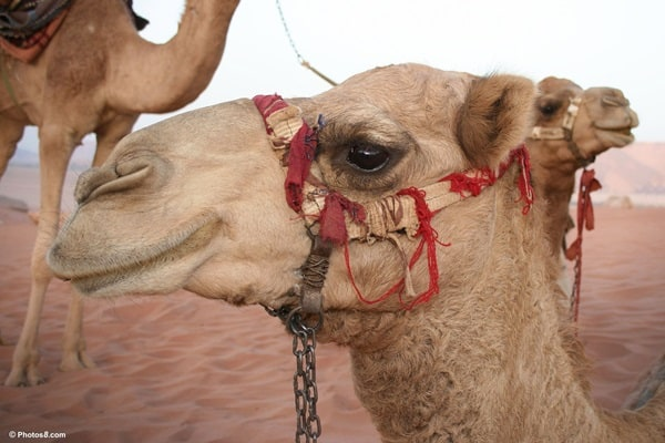 20 Beautiful Camel Pictures 36