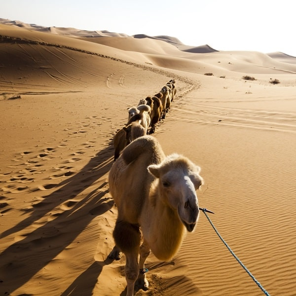 20 Beautiful Camel Pictures 38