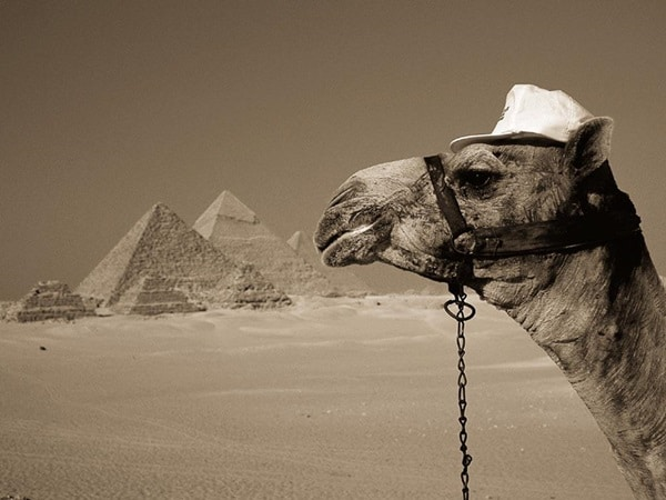 20 Beautiful Camel Pictures 39