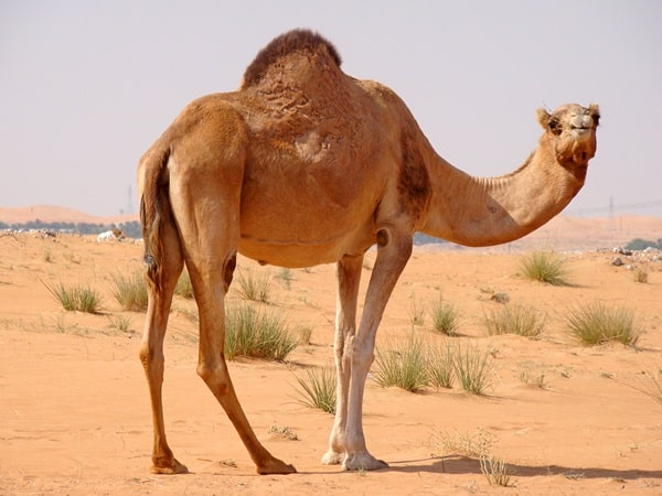 20 Beautiful Camel Pictures 4