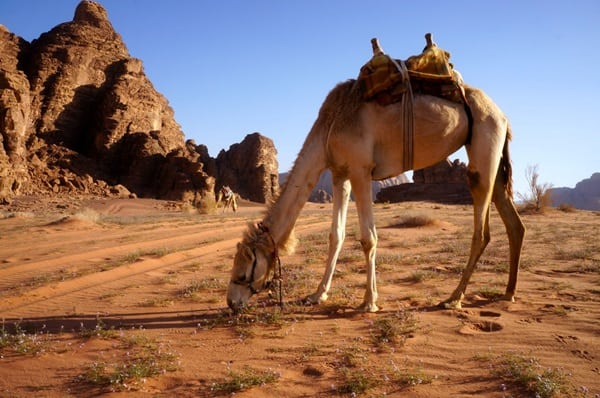 20 Beautiful Camel Pictures 40