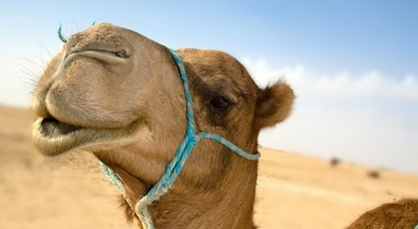 20 Beautiful Camel Pictures 6