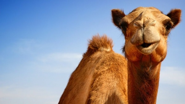 20 Beautiful Camel Pictures 7