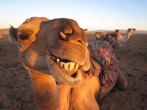 20 Beautiful Camel Pictures 8