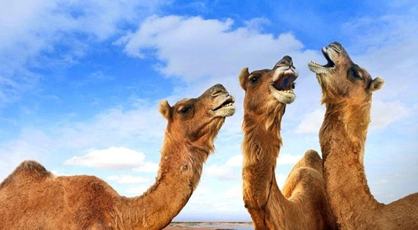 20 Beautiful Camel Pictures 9