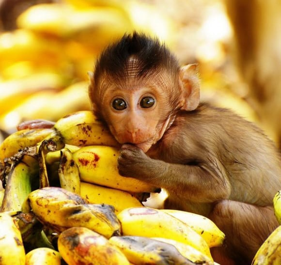 http://www.cutestpaw.com/images/bananas-for-bananas/
