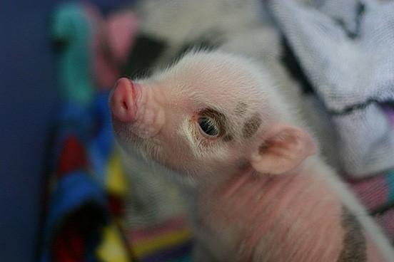 http://le-loup-blanc.deviantart.com/art/Cute-Piggy-Baby-93906419
