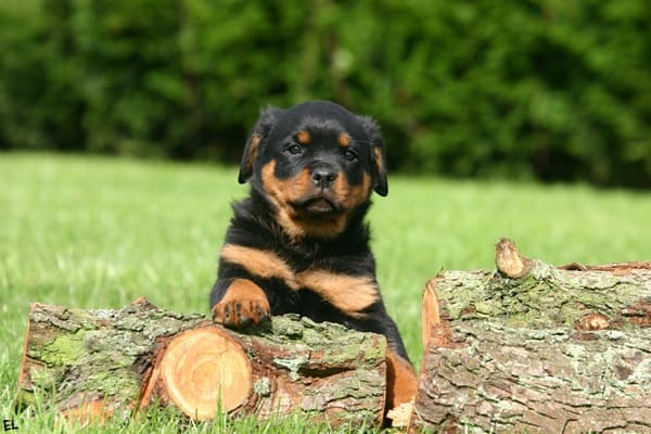 40 Great Rottweiler Pictures 1
