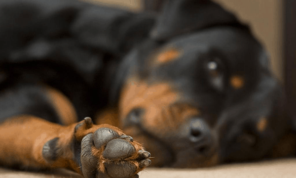 40 Great Rottweiler Pictures 10