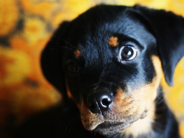 40 Great Rottweiler Pictures 17