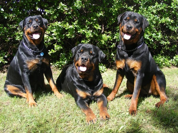 40 Great Rottweiler Pictures 19