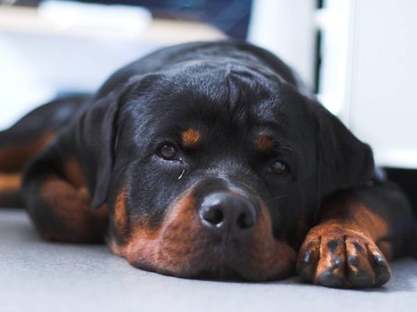 40 Great Rottweiler Pictures 20