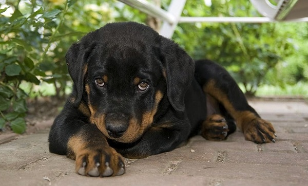 40 Great Rottweiler Pictures 21