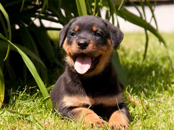 rottweiler puppy cute little friend