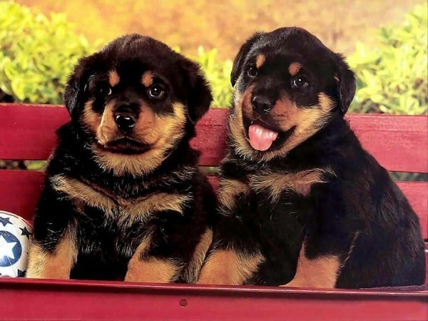 40 Great Rottweiler Pictures 23