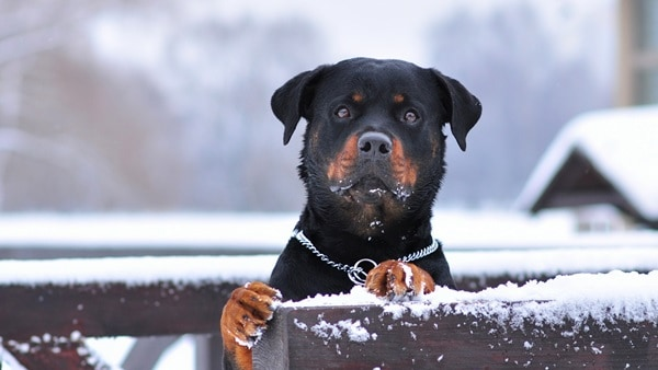 40 Great Rottweiler Pictures 3