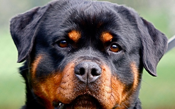 40 Great Rottweiler Pictures 30