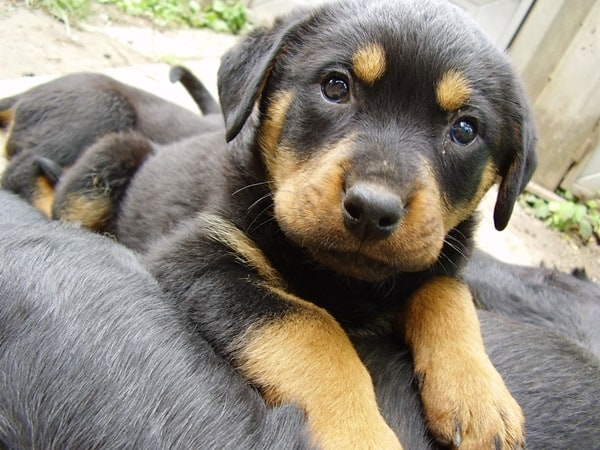 40 Great Rottweiler Pictures 31