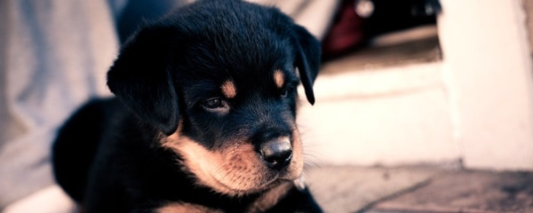 40 Great Rottweiler Pictures 32
