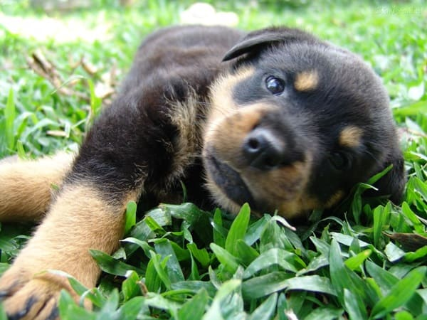 40 Great Rottweiler Pictures 33