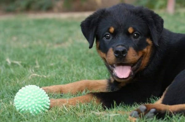40 Great Rottweiler Pictures 34