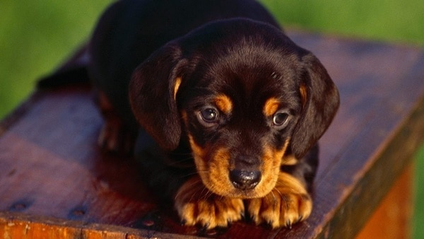 40 Great Rottweiler Pictures 36