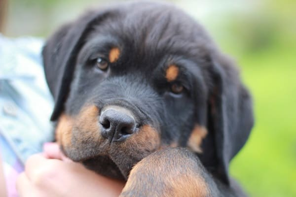 40 Great Rottweiler Pictures 39
