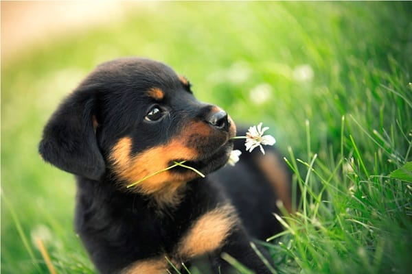 4 Useful Tips On How To Care For Rottweiler Puppies