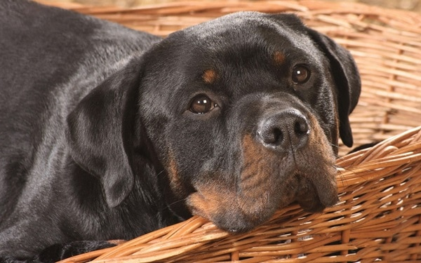 40 Great Rottweiler Pictures 6