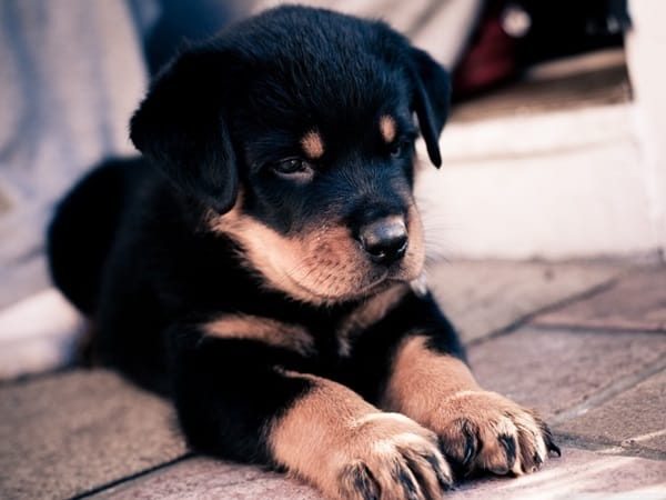 40 Great Rottweiler Pictures 7