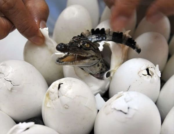 40 Hatching Animal Pictures 10