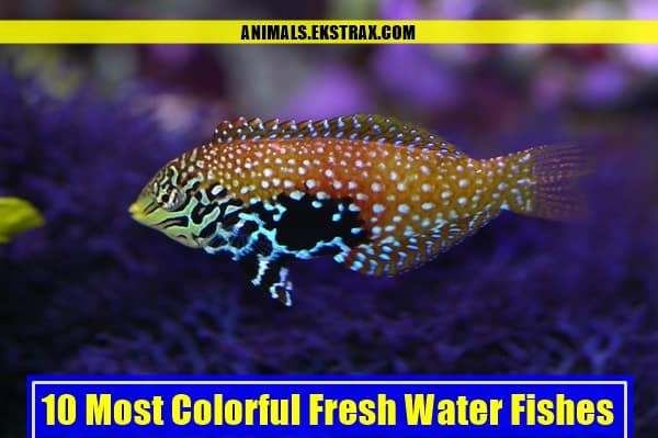 Most Colorful Freshwater Tropical Fish 10 Most Colorful Fresh...