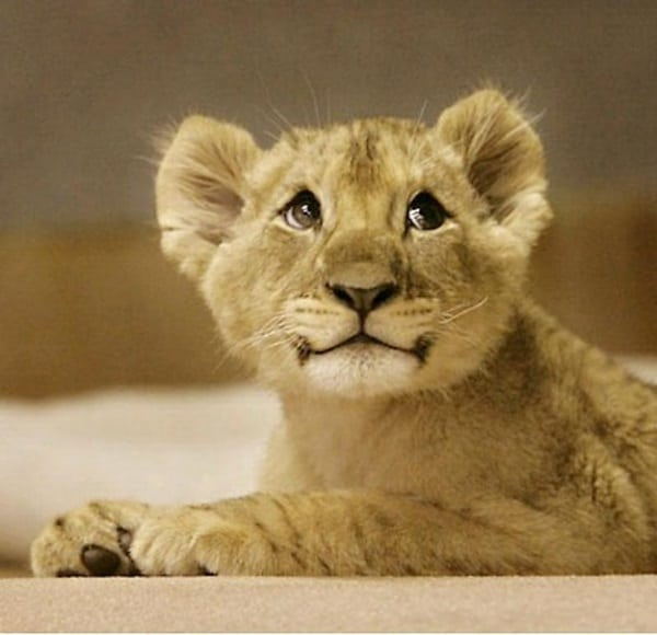 Amazing lion cubs pictures (1)