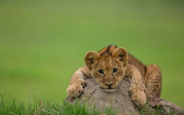 Amazing lion cubs pictures (10)
