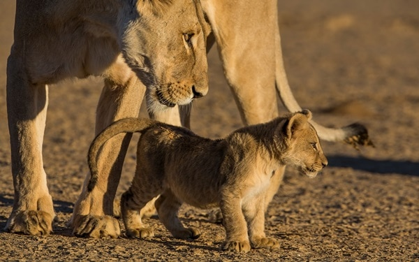 Amazing lion cubs pictures (11)