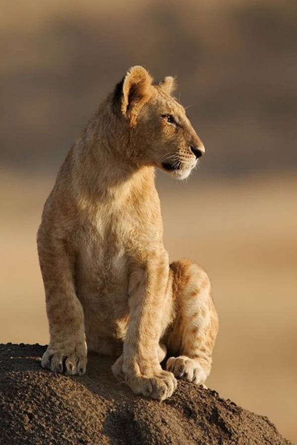 Amazing lion cubs pictures (12)