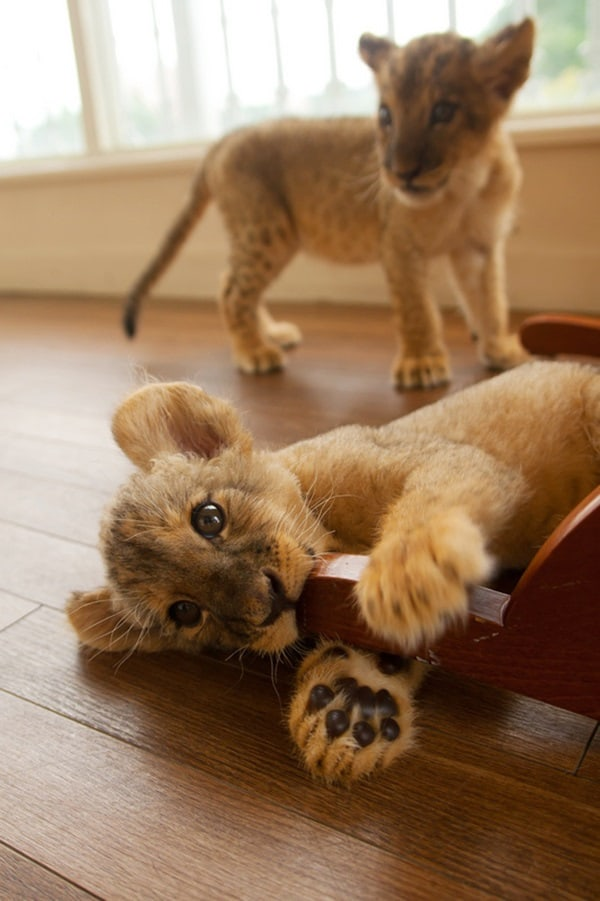Amazing lion cubs pictures (13)
