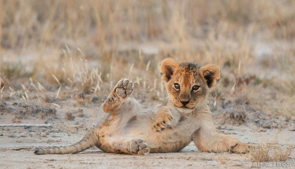 Amazing lion cubs pictures (15)