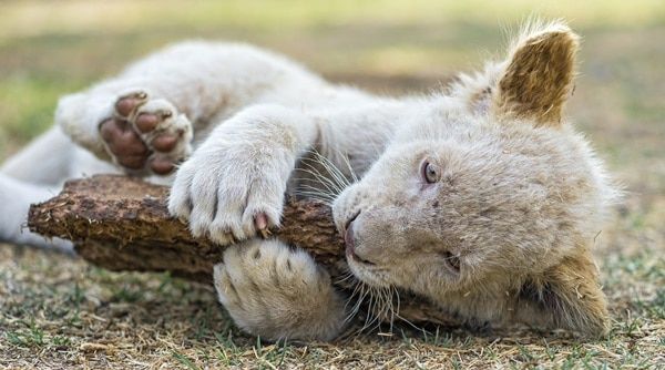 Amazing lion cubs pictures (16)