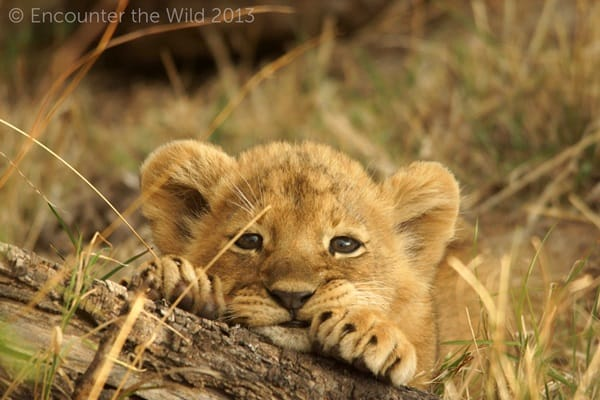 Amazing lion cubs pictures (18)