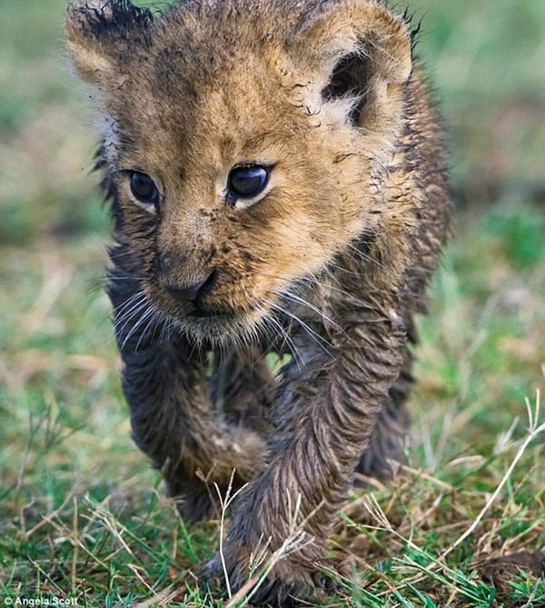 Amazing lion cubs pictures (19)