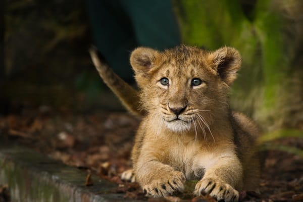 Amazing lion cubs pictures (20)